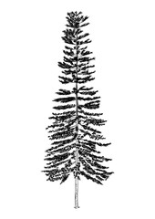 hand drawn illustration of pine tree. sketch of tree, isolated