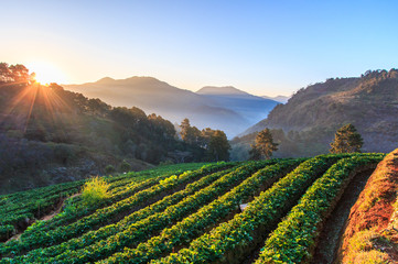 Strawberry garden at Doi Ang Khang in Chiangmai province of Thailand
