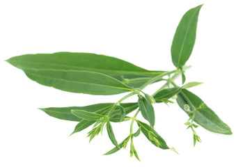Ayurvedic medicinal Chirata
