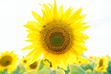 Shiny sunflower