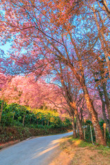 Cherry Blossom or Sakura in Chiangmai province of Thailand