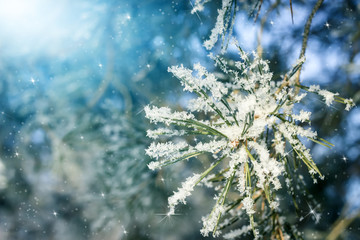 Pine needles in sparkling frost. Closeup of Christmas tree