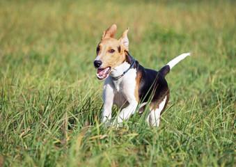 Estonian hound puppy running in field
