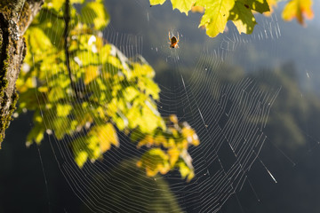 spider web with stider in forest