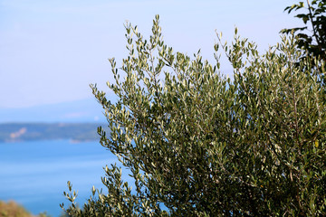 Beautiful big olive tree in Dalmatia, Croatia. Sea and bright sky in the background. Selective focus.