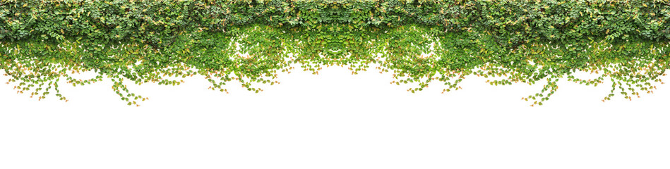 Fresh green ivy isolated on white background. Garden decoration
