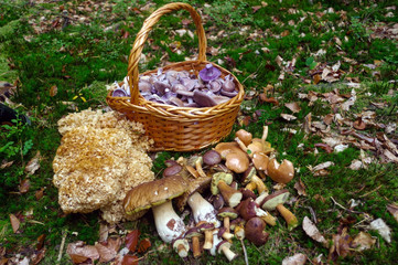 Selected fresh picked edible forest mushrooms in a basket