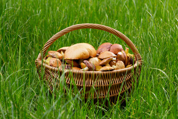 the edible mushrooms