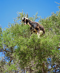A goat on a tree