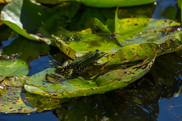 green pond frog rest on lotus leaf in pond