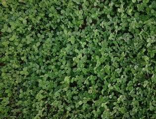 Field of green clover