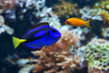 Blue tang (Paracanthurus hepatus), and Dottyback