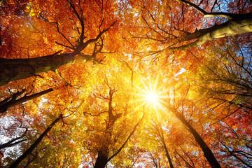 Wall Mural - Wald mit Buchen im Herbst: das Laub wird von der Sonne warm durchleuchtet