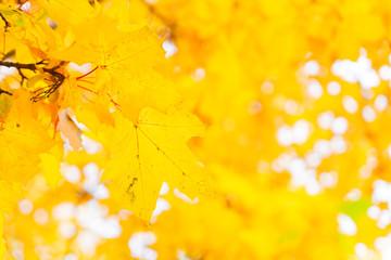 Vibrant yellow maple fall tree foliage background