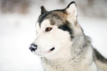 Alaskan Malamute in the snow. Alaskan Malamute head.