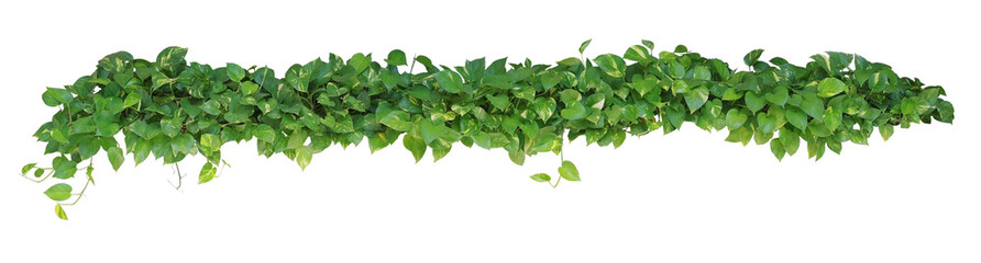 Heart shaped leaves vine, devil's ivy, golden pothos, isolated o Wall mural