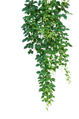 Wild climbing vine, Cayratia trifolia (Linn.) Domin. isolated on