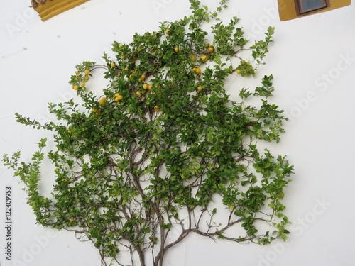 Espagne andalousie ojen citronnier grimpant sur un mur zdj stockowych i obraz w - Entretien d un citronnier ...