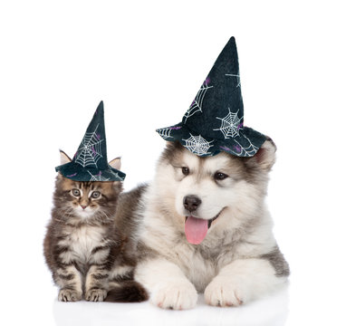 maine coon cat and alaskan malamute dog with hats for halloween. isolated on white