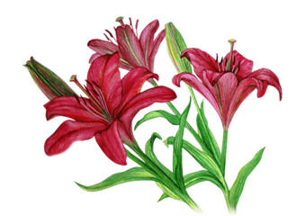 Pink Lilies with buds on the stems - watercolor painting