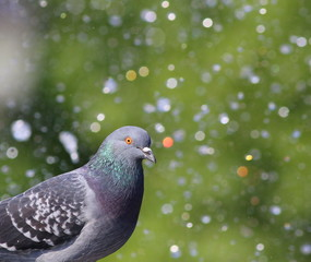 pigeon in fountain with bokeh lights