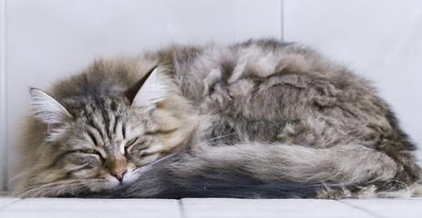 cat sleeping, furry brown