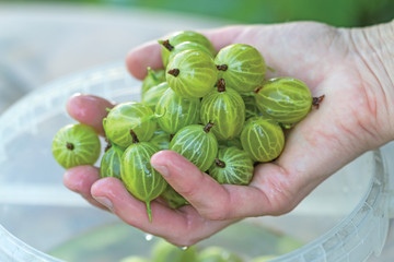 Hand with washed gooseberries