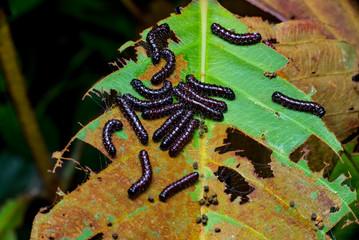 Buck Moth Caterpillars (Hemileuca maia) on a leaf
