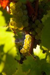 Grappe de raisin dans les vignes