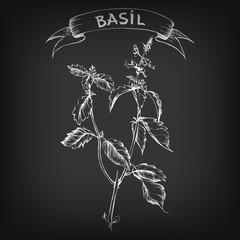 Vector sketch of basil for design
