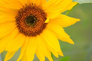Close-up macro shot a sunflower.