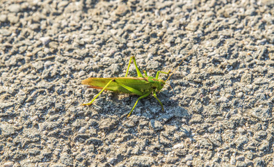 Large green grasshopper sitting on the road summer day