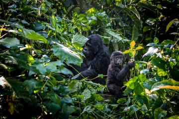 Gorilles femelle et petit