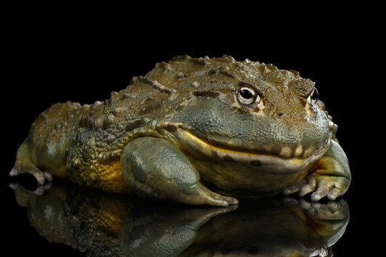African bullfrog Pyxicephalus adspersus Frog isolated on Black Background with reflection, side view