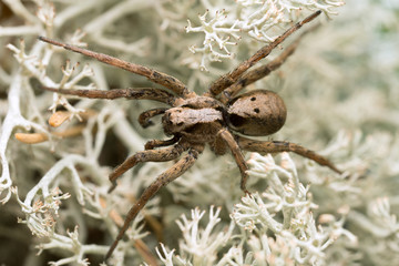 Male wolf spider, Alopecosa inquilina on lichen
