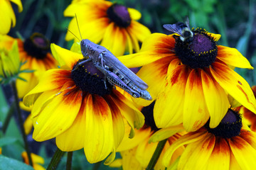 Grasshopper (insect) sitting on flower and trying to pick the best spot;