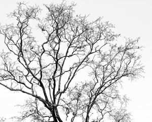Black and white of dry tree branches