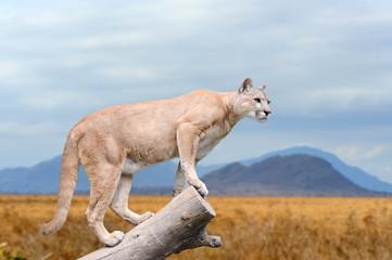 Puma stands on a tree