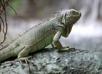 green iguana with long legs near the waterfall of forest