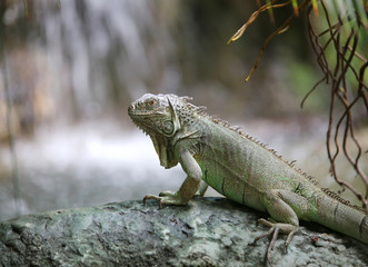 big iguana with scaly skin near tropical waterfall
