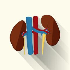 human kidneys flat