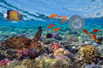 green turtle (Chelonia mydas) and Coral Reef Scene with Tropical