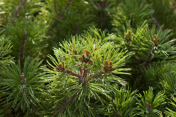 The top branches of a pine close up.