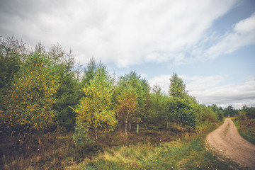 Colorful birch trees by a dirt road
