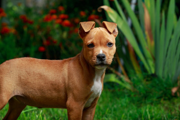 puppy breed American Staffordshire Terrier