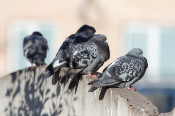 pigeons on a stone wall