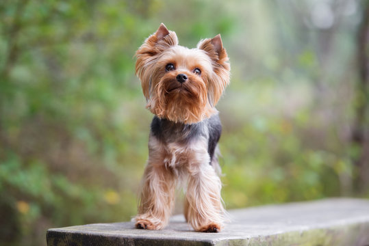 yorkshire terrier dog posing outdoors