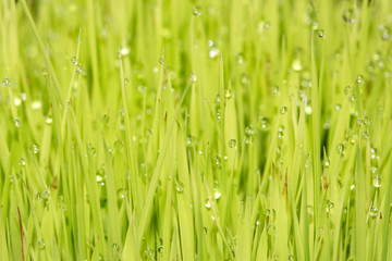 rice plant with rain water drops macro