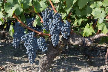 Red grapes on the vine. Vine grape fruit plants outdoors