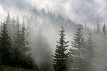 Photo sur Toile Forets pine forest in mist